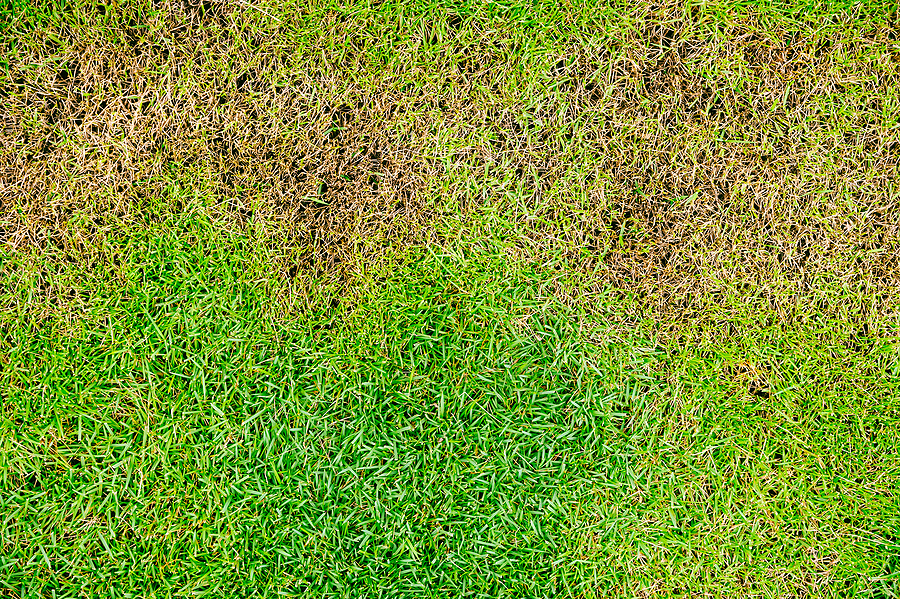 Is it Drought or Disease Making Your Lawn Brown?